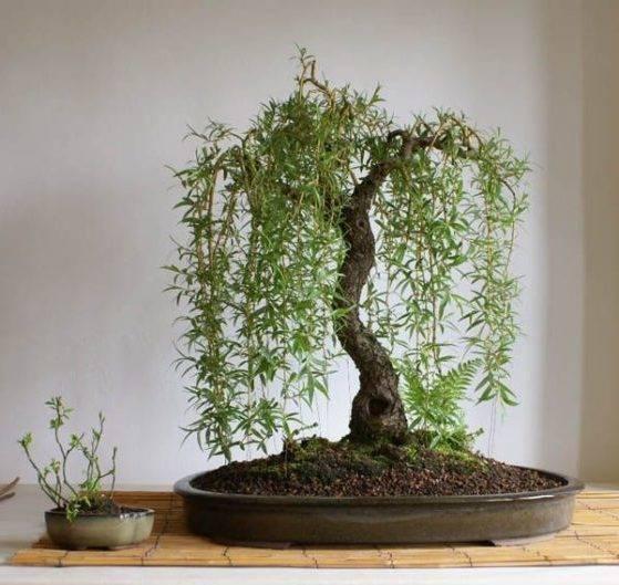 Что такое бонсай в японии — искусство выращивания цветов