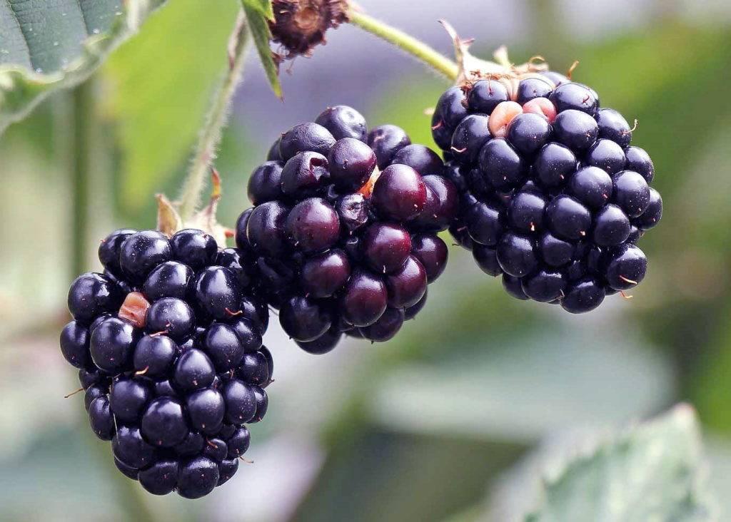 Ежевика: посадка и уход, выращивание