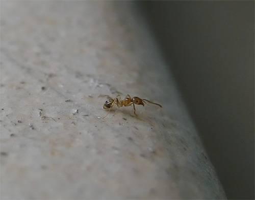 Садовые муравьи: как избавиться и как вывести народными средствами