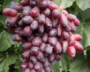 Виноград ризамат: описание, фото и отзывы