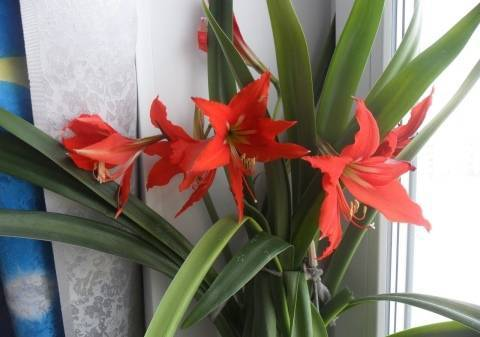 Комнатная лилия: фото и название, разведение в домашних условиях, виды и классификация, особенности ухода