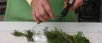 Размножение можжевельника методом черенкования