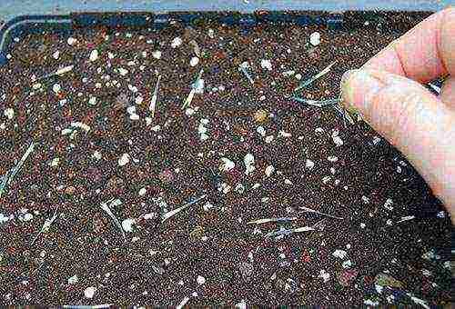 Семена бархатцев — можно ли собирать свои семена, сохранение качеств сорта, видео
