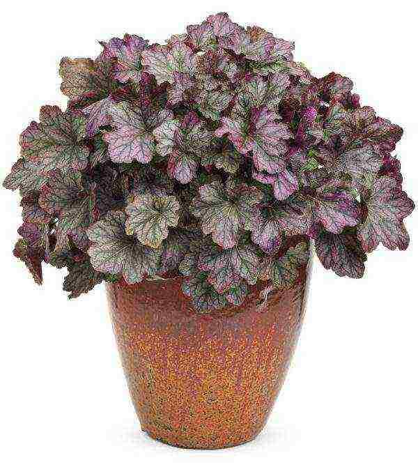 Выращивание гейхеры из семян в домашних условиях: пестрые кустики в вашем саду