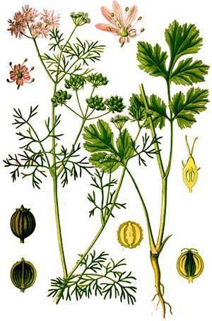 Выращивание кориандра из семян – простое дело для вкуса и пользы