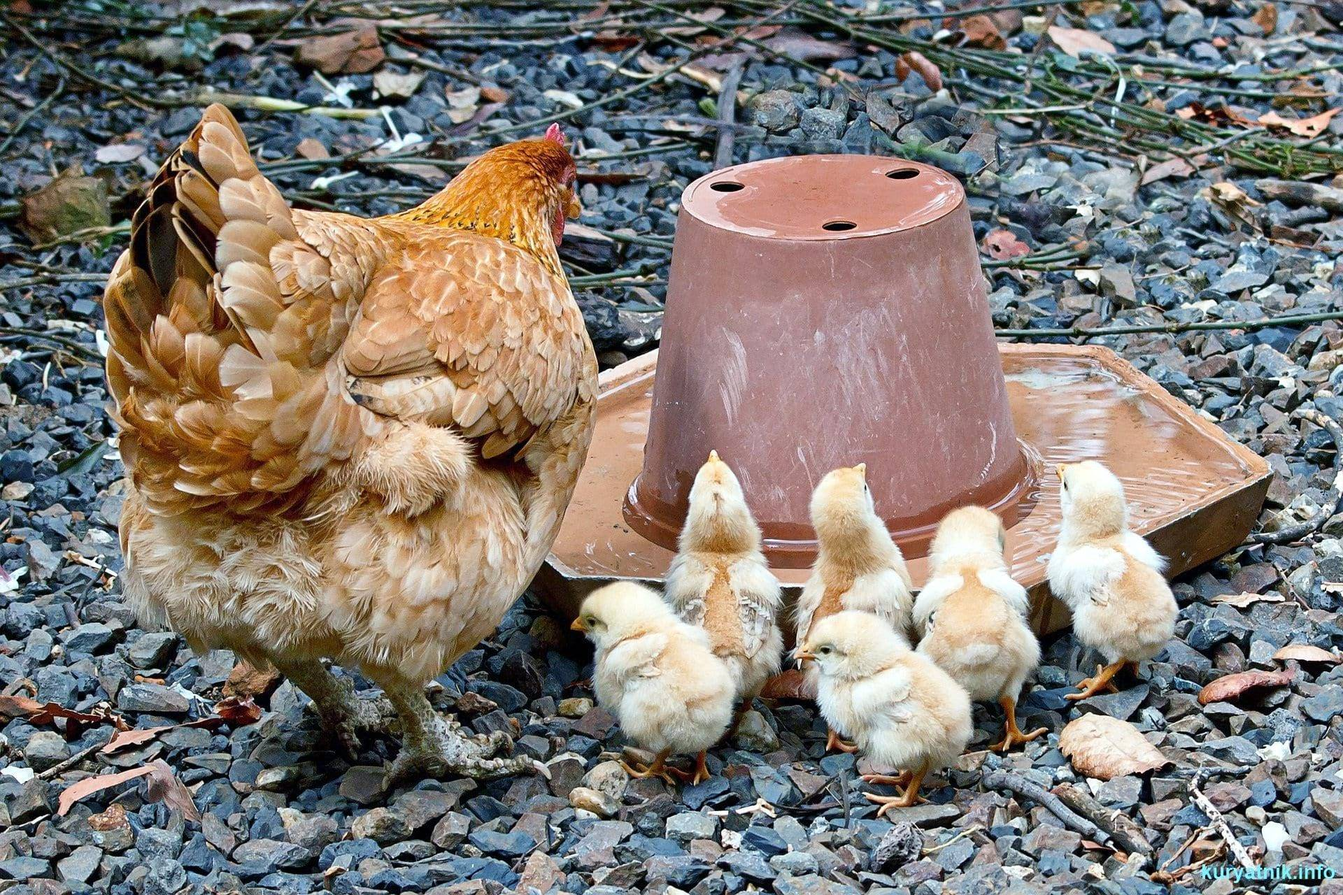 Препарат байкокс для цыплят от паразитов