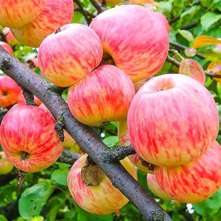 Яблоня сорта уэлси: описание, отзывы, фото