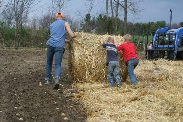 Правила посадки картошки под сено или солому