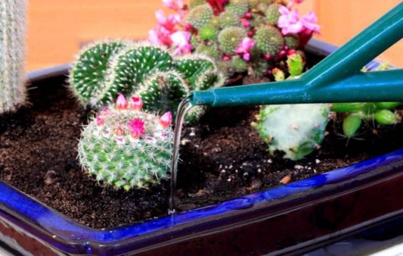 Как правильно ухаживать за кактусами