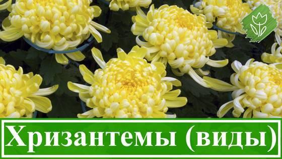 Хризантемы многолетние — посадка и уход в открытом грунте