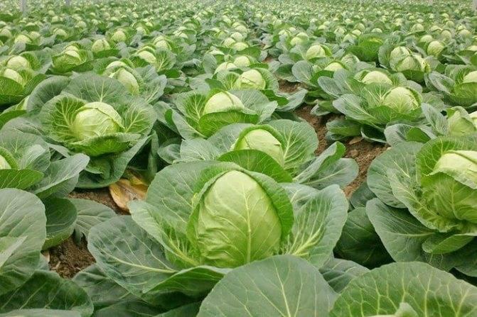 Савойская капуста: фото и выращивание