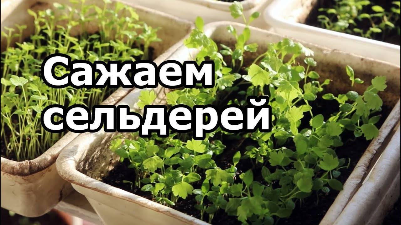 Посадка сельдерея в 2020 году: сроки посева, выращивание и уход