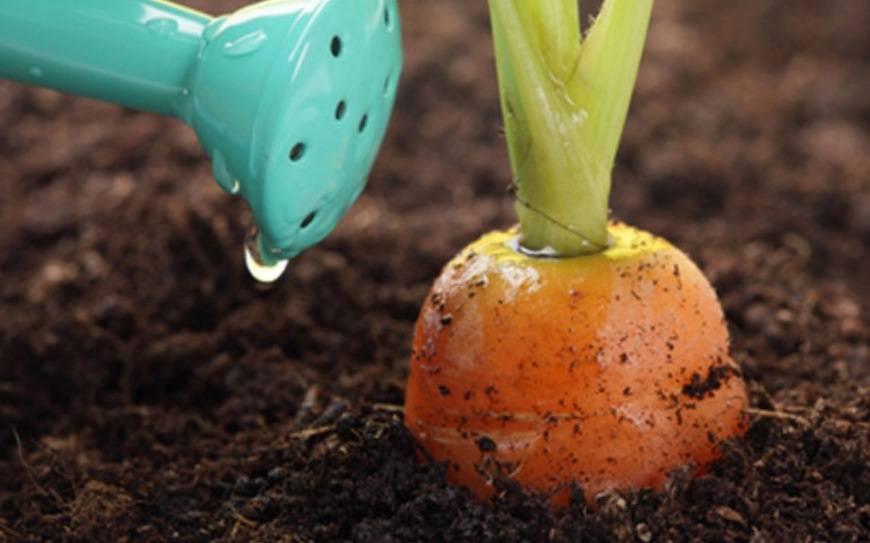 Удобрения для моркови в открытом грунте