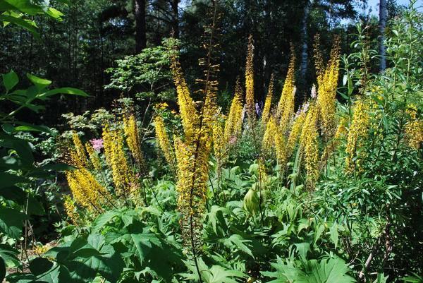 Как выращивать ревень на даче: посадка и уход в открытом грунте