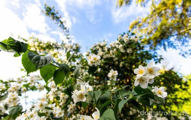 Выращивание и уход за чубушником ауреус
