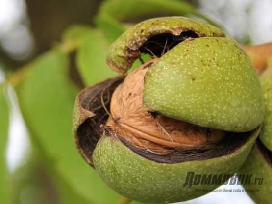 Крупноплодные сорта ореха - обзор лучших сортов, видео