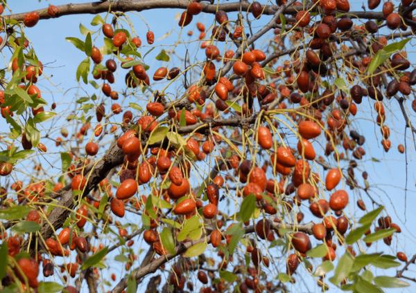 Китайский финик унаби: правила посадки и уход за растением