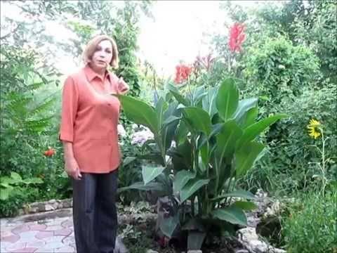 Канны — удивительные цветы: выращивание, уход и размножение в открытом грунте