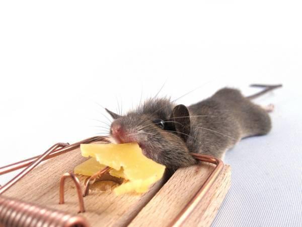 Как избавиться от мышей на даче навсегда