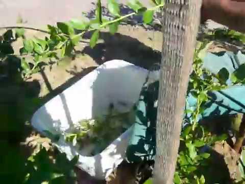 Размножение голубики черенками и отводками: пошаговая инструкция по размножению своими руками (100 фото)