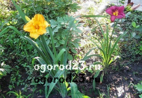 Лилейники: посадка в открытый грунт и уход, выращивание в саду