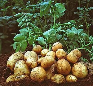 Сроки полива картофеля в открытом грунте