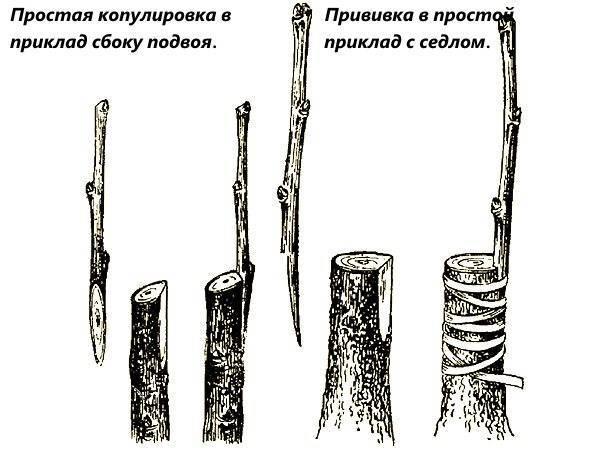 Прививка деревьев весной
