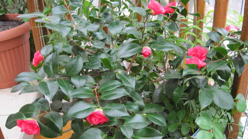 Камелия уход в домашних условиях посадка и размножение черенками выращивание из семян