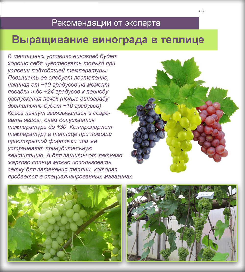 Выращивание винограда в сибири — виноград