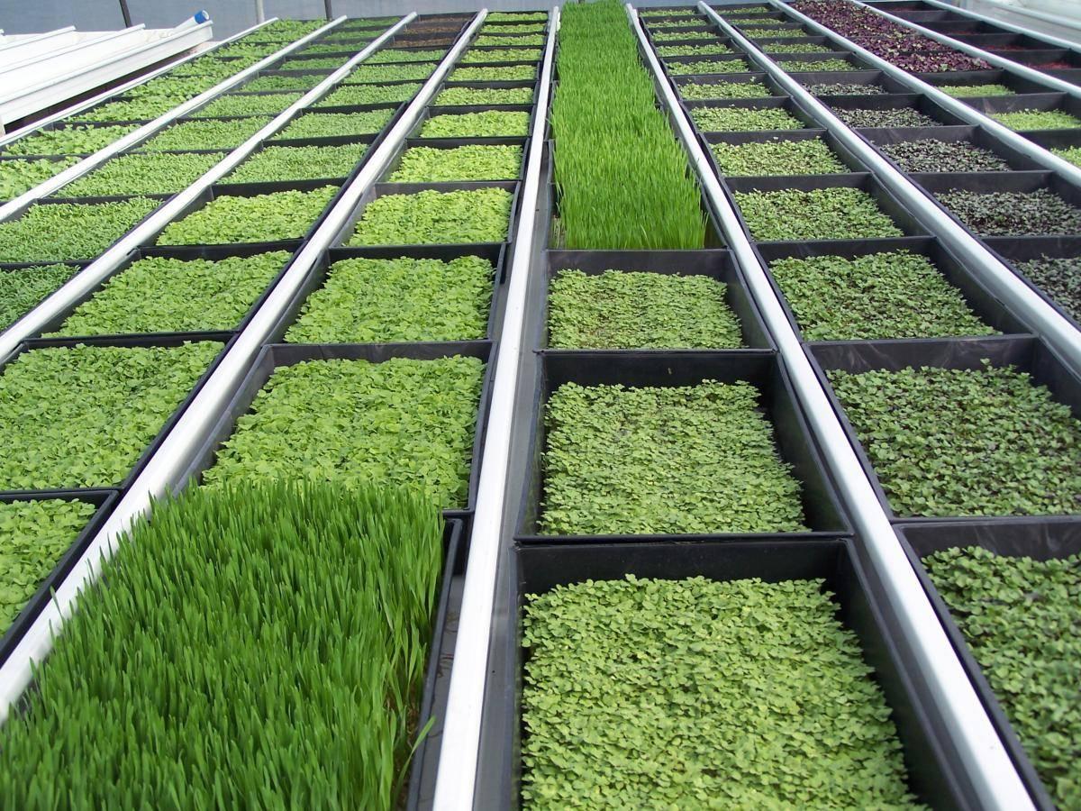 Выращивание зелени в теплице как бизнес: инструкция