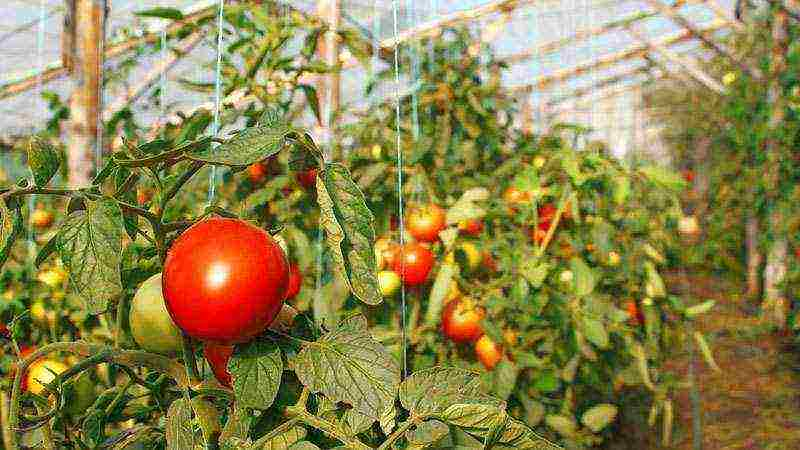 Томат медовая капля: как вырастить гроздья душистые