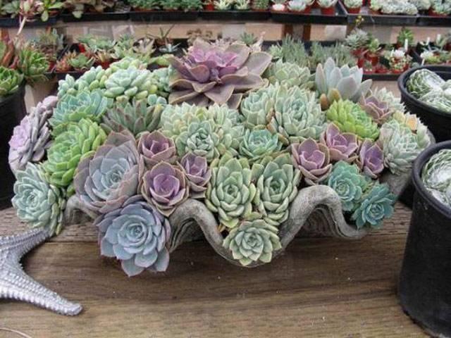 Как вырастить цветок эхеверия в домашних условиях?