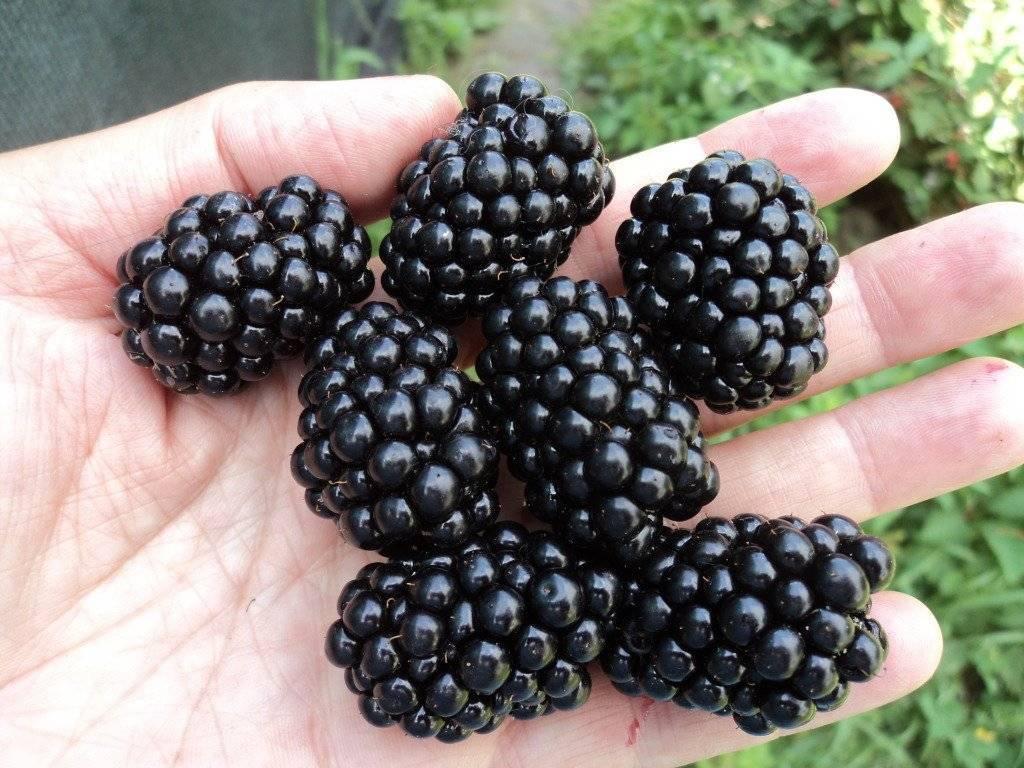 Сорт лох тей: шотландская чудо-ягода с приятным вкусом