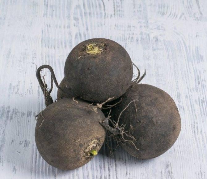 Все о выращивании дайкона: как сеять и как ухаживать за японской редькой