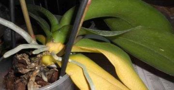 Нежный цветок: почему орхидея желтеет и когда не стоит паниковать по этому поводу?