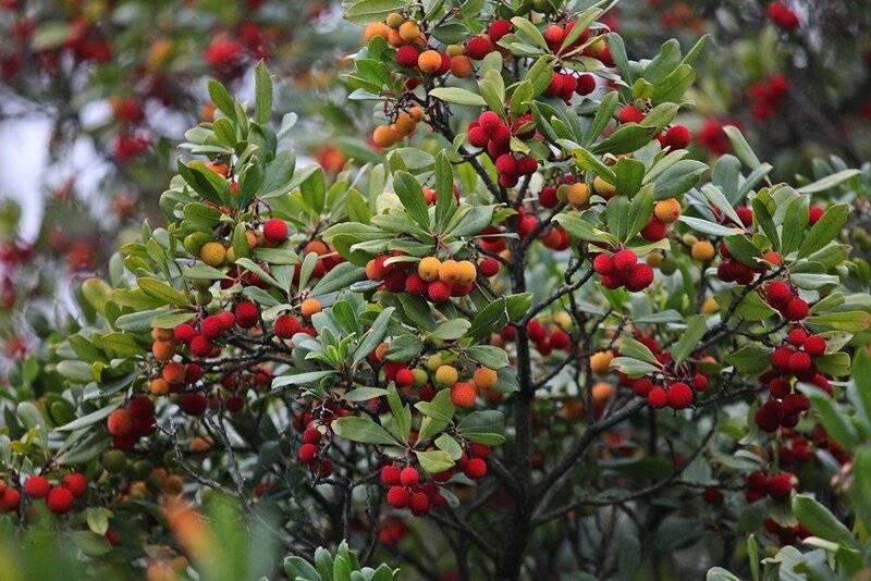 Клубничное дерево кудрания: выращивание на участке и в доме