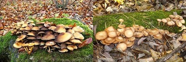 Ложные опята: описание внешнего вида и места произрастания