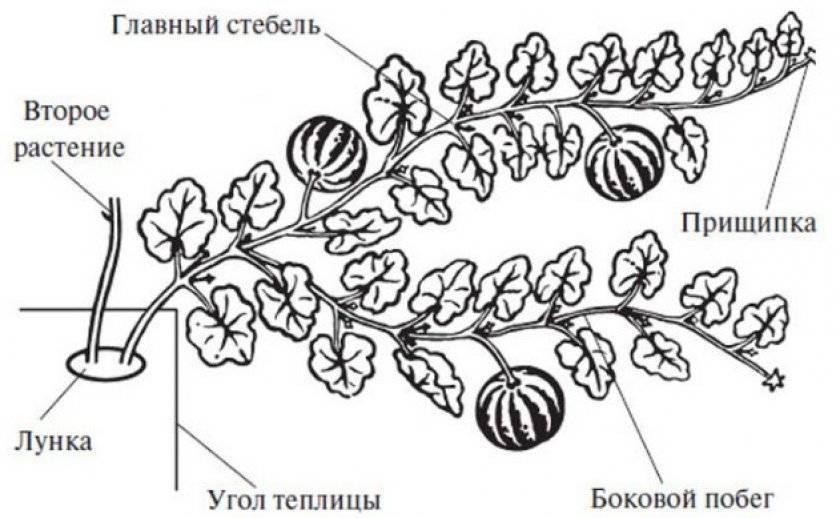 Посадка арбузов в 2020 году: сроки посева, выращивание и уход
