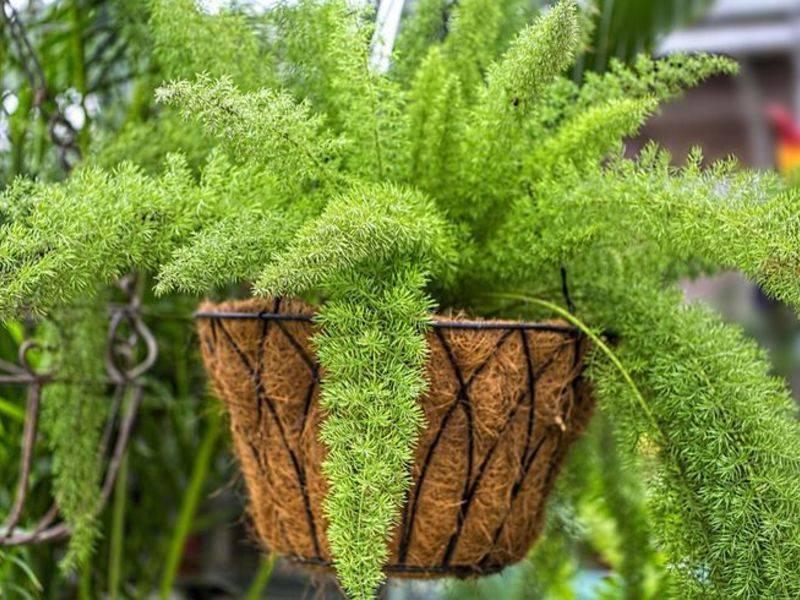 Описание неприхотливого растения аспарагус серповидный: уход в домашних условиях, фото