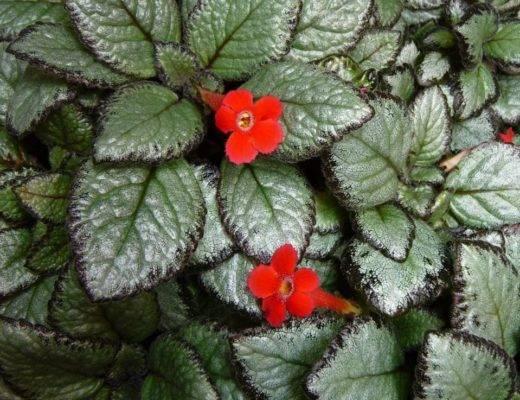 Эписция: как ухаживать за цветком в домашних условиях.