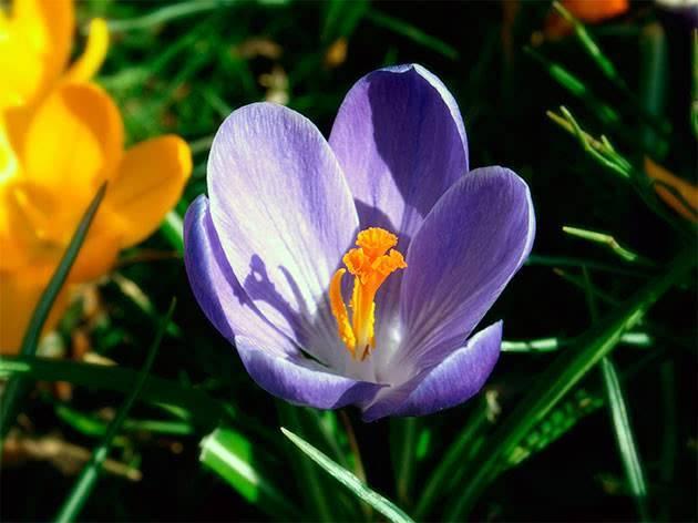 Ранние крокусы – первые цветы в вашем саду