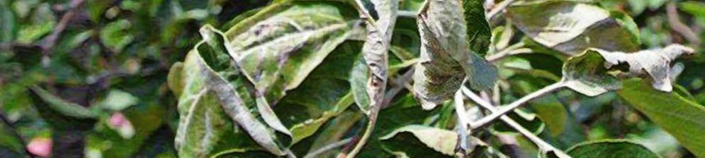 Узнайте, почему на яблоне скручиваются листья