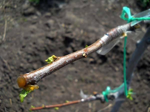 Как и когда прививают абрикос на сливу