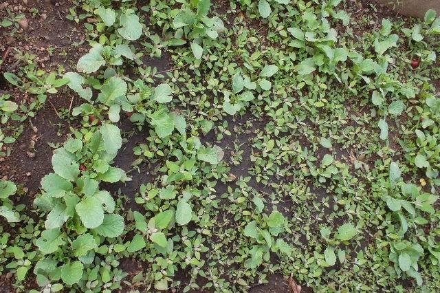 Виды сорняков огорода: названия, описания с фото