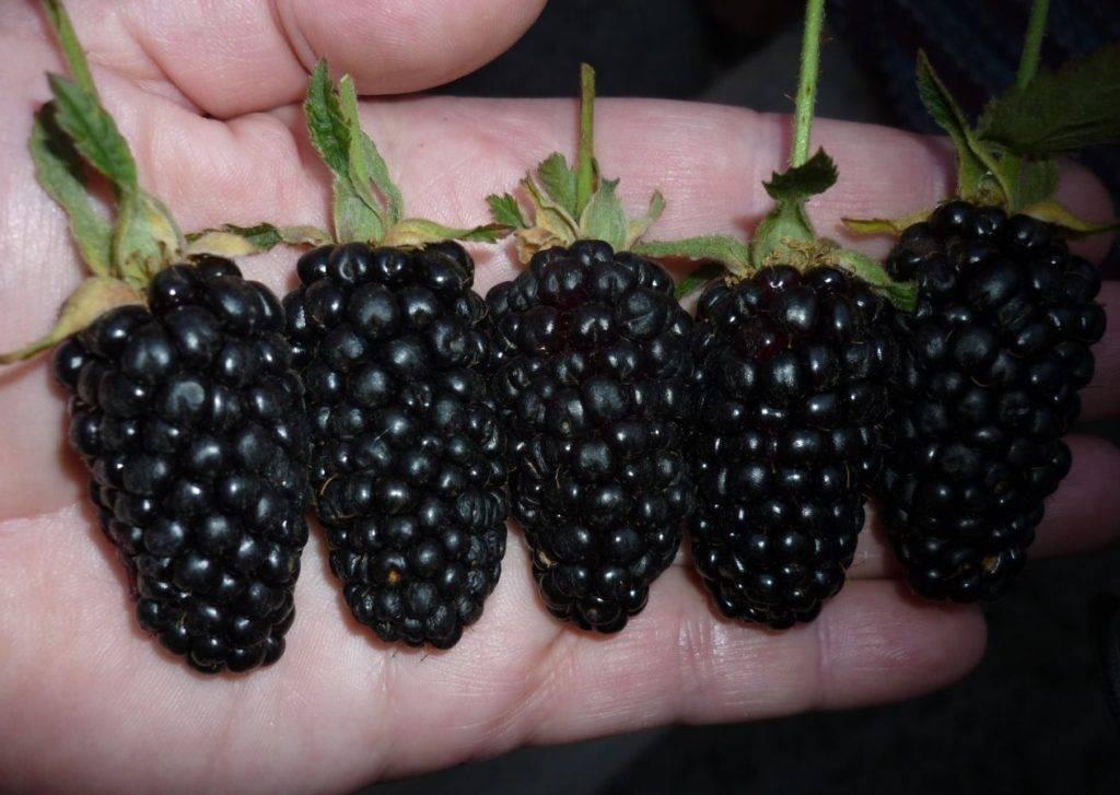 Бесшипная ежевика: лучшие сорта и особенности их выращивания