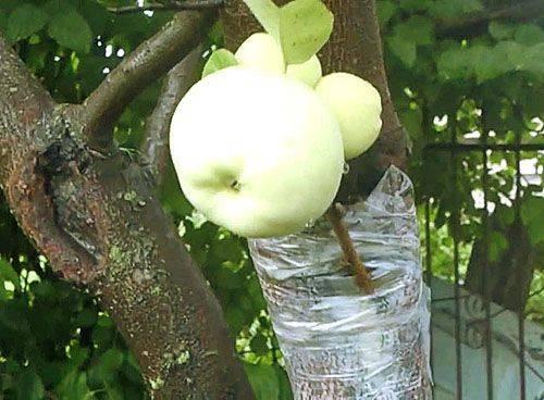 Учимся делать прививку яблони летом