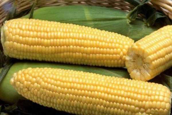 Когда собирать кукурузу в 2020 году