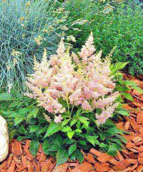 Астильба – фаворит теневых садов: правила посадки и рекомендации по уходу