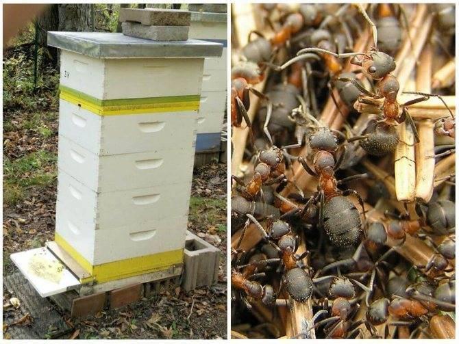 Эффективные способы борьбы с муравьями на пасеке