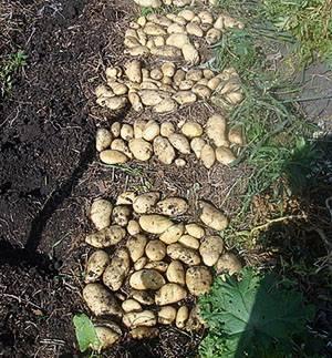 Зачем окучивать картофель?